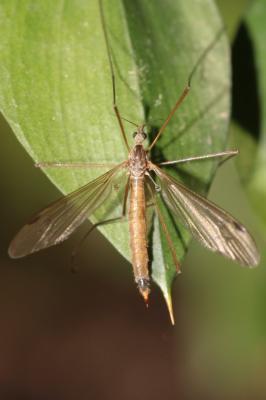 Austrolimnophila ochracea (Meigen, 1804)