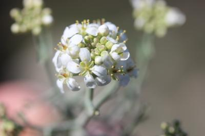 Passerage épineux, Corbeille-d'argent épineuse Hormathophylla spinosa (L.) P.Küpfer, 1974