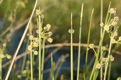 Scirpe-jonc Scirpoides holoschoenus (L.) Soják, 1972