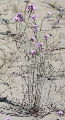 Julienne des sables, Malcolmie des côtes Malcolmia littorea (L.) R.Br., 1812