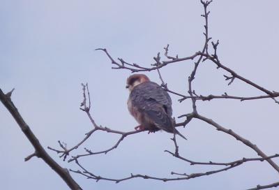 Faucon kobez Falco vespertinus Linnaeus, 1766