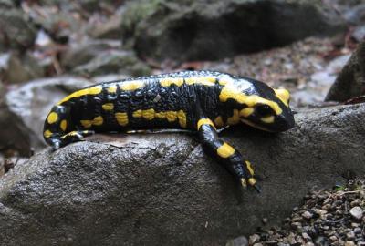 Salamandre tachetée Salamandra salamandra (Linnaeus, 1758)