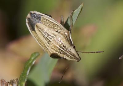 Punaise à tête allongée Aelia acuminata (Linnaeus, 1758)