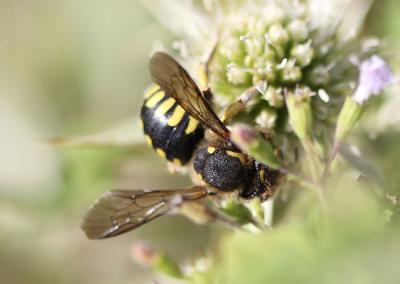 Anthidium florentinum (Fabricius, 1775)