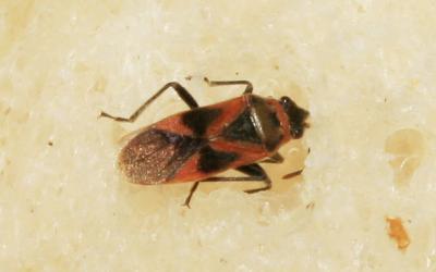 Arocatus roeselii (Schilling, 1829)