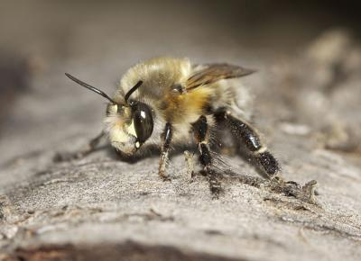 Anthophore commune, Anthophore plumeuse, Anthophor Anthophora plumipes (Pallas, 1772)