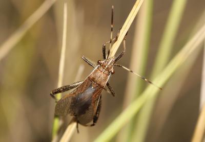 Alydide des genêts Camptopus lateralis (Germar, 1817)