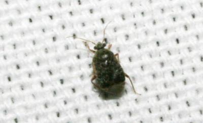 Charagochilus gyllenhalii (Fallén, 1807)