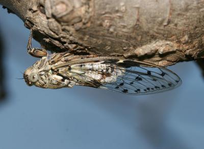 Cigale grise (la), Cigale de l'orne (la), Cigale p Cicada orni Linnaeus, 1758