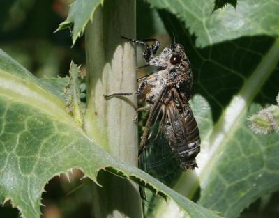 Cigale noire Cicadatra atra (Olivier, 1790)
