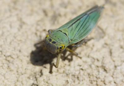 Cicadelle verte Cicadella viridis (Linnaeus, 1758)