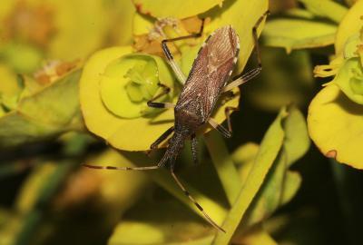 Dicranocephalus albipes (Fabricius, 1781)