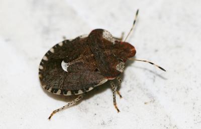 Dyroderes umbraculatus (Fabricius, 1775)