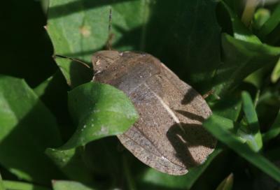 Eurygaster austriaca (Schrank, 1776)