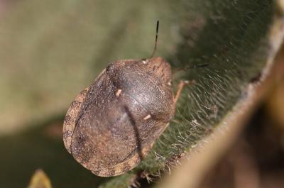 Eurygaster maura (Linnaeus, 1758)