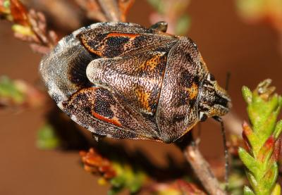 Holcogaster fibulata (Germar, 1831)
