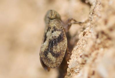Latilica maculipes (Melichar, 1906)