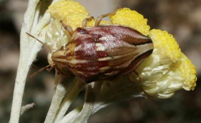 Odontotarsus purpureolineatus (Rossi, 1790)