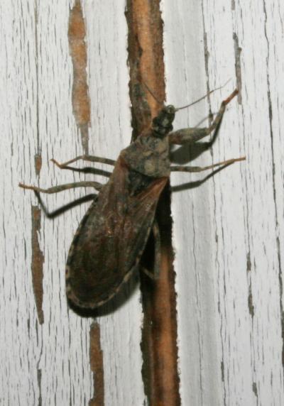Oncocephalus pilicornis Reuter, 1882