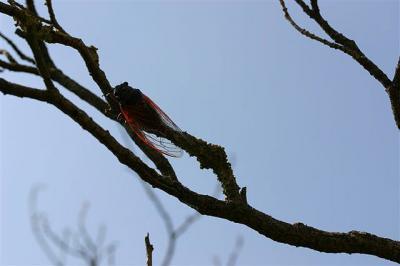 Cigale rouge (la) Tibicina haematodes (Scopoli, 1763)
