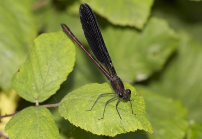 Caloptéryx hémorroïdal Calopteryx haemorrhoidalis (Vander Linden, 1825)