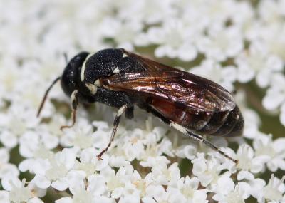 Hylaeus variegatus (Fabricius, 1798)