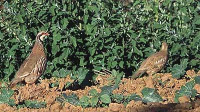 Perdrix rouge Alectoris rufa (Linnaeus, 1758)