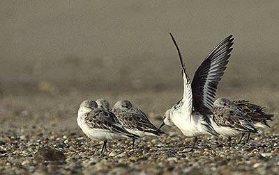 Bécasseau sanderling Calidris alba (Pallas, 1764)