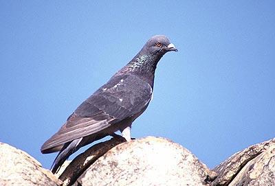 Pigeon biset Columba livia Gmelin, 1789