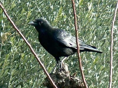 Corneille noire Corvus corone Linnaeus, 1758