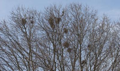 Corbeau freux Corvus frugilegus Linnaeus, 1758