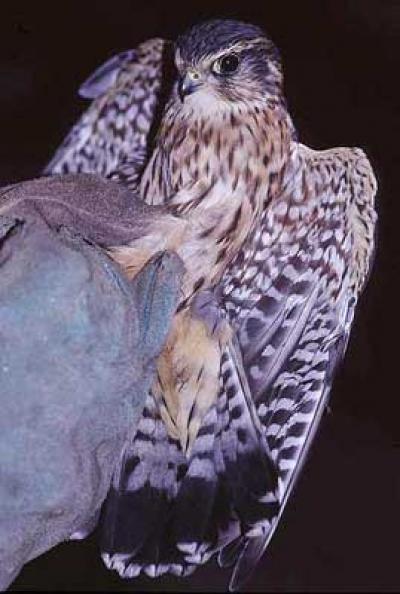 Faucon émerillon Falco columbarius Linnaeus, 1758