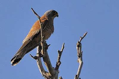 Faucon crécerellette Falco naumanni Fleischer, 1818