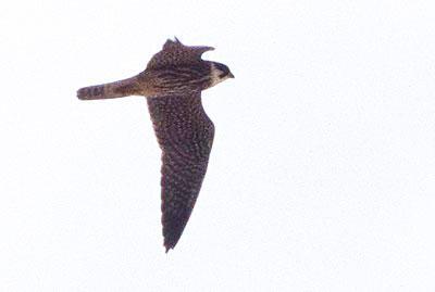 Faucon hobereau Falco subbuteo Linnaeus, 1758