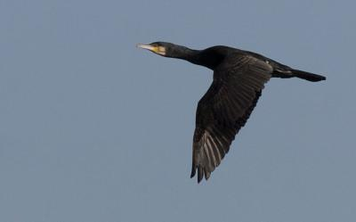 Grand Cormoran Phalacrocorax carbo sinensis (Shaw & Nodder, 1801)