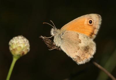 Fadet commun (Le), Procris (Le), Petit Papillon de Coenonympha pamphilus (Linnaeus, 1758)