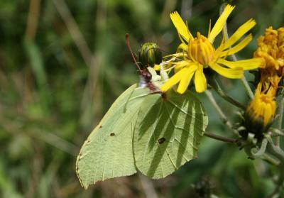 Citron (Le), Limon (Le), Piéride du Nerprun (La) Gonepteryx rhamni (Linnaeus, 1758)
