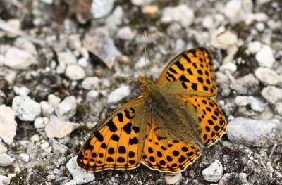 Petit Nacré Issoria lathonia (Linnaeus, 1758)