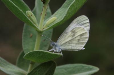 Piéride de la moutarde Leptidea sinapis (Linnaeus, 1758)