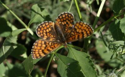 Mélitée des Linaires (La) Melitaea deione (Geyer, 1832)