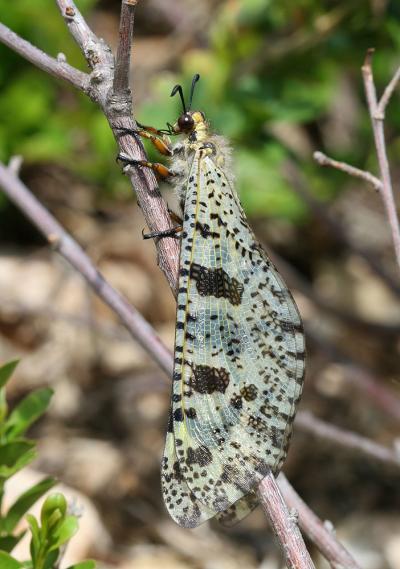Palpares libelluloides (Linnaeus, 1764)
