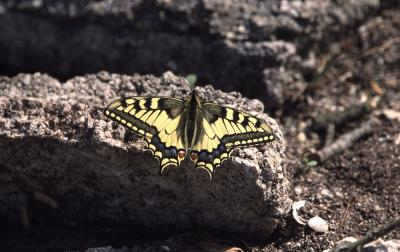 Machaon (Le), Grand Porte-Queue (Le) Papilio machaon Linnaeus, 1758