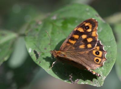 Tircis (Le), Argus des Bois (L'), Égérie (L') Pararge aegeria (Linnaeus, 1758)