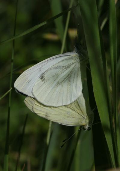 Piéride du Navet (La), Papillon blanc veiné de ver Pieris napi (Linnaeus, 1758)