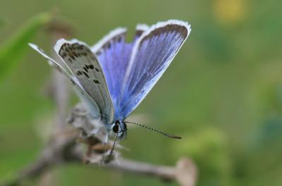 Azuré de l'Ajonc (L'), Argus bleu-violet (L'), Arg Plebejus argus (Linnaeus, 1758)