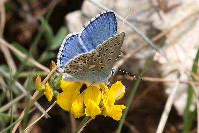 Azuré bleu-céleste (L'), Bel-Argus (Le), Argus ble Lysandra bellargus (Rottemburg, 1775)