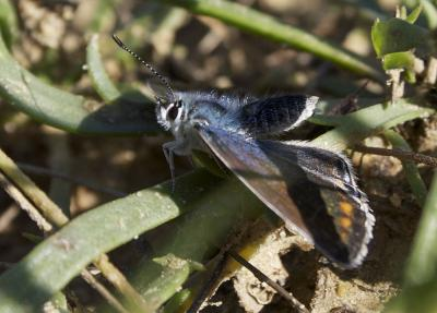Azuré commun Polyommatus icarus (Rottemburg, 1775)