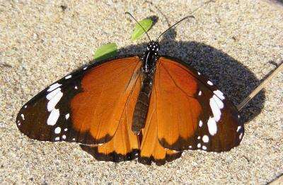 Petit Monarque Danaus chrysippus (Linnaeus, 1758)