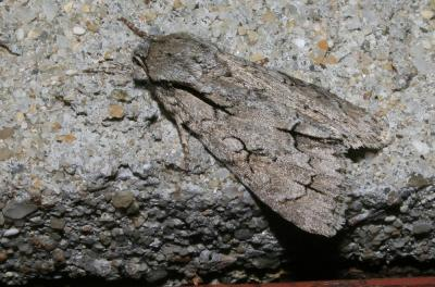 Psi (Le) Acronicta psi (Linnaeus, 1758)