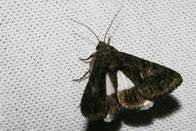 Clair-obscur (Le) Aedia leucomelas (Linnaeus, 1758)